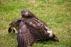 Red-tailed hawk hunting rabbit Stock Photography