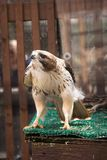 A red-tailed hawk in its cage at the zoo. royalty free stock photography