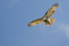 Red Tailed Hawk Kiting in a Blue Sky. Immature Red Tailed Hawk Kiting and hunting in a Blue Sky Stock Photography