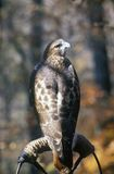 Red Tailed Hawk, Land Between Lakes, KY Royalty Free Stock Photo