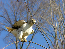 Red tailed hawk landing on a branch. A red tailed hawk just landing on a really thin branch Royalty Free Stock Photo