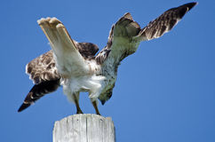 Red-Tailed Hawk Landing on a Pole Stock Photo