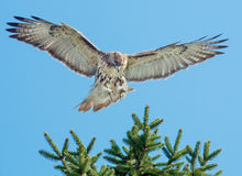Red-tailed Hawk. Landing in a tree. Rosetta McClain Gardens, Toronto, Ontario, Canada stock images