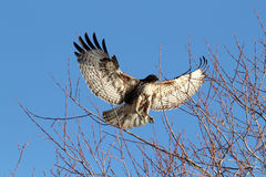 Red tailed hawk landing in tree with wings spread (Buteo jamaice Royalty Free Stock Photo