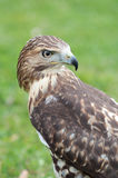 Red-tailed hawk looking at behind Royalty Free Stock Image