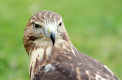 Red-tailed hawk looking at camera Royalty Free Stock Photos