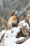 Red tailed hawk looking to his side. Red tailed hawk in snow looking to his side stock image