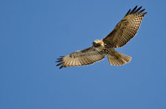 Red-Tailed Hawk Making Eye Contact As It Flys. In a Blue Sky royalty free stock photos