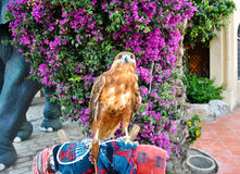 Red-Tailed Hawk. Stock Photo