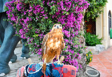 Red-Tailed Hawk. Royalty Free Stock Photos