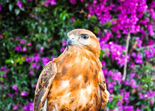 Red-Tailed Hawk. Stock Photography