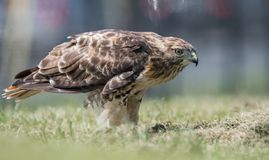 Red Tailed Hawk. In Pennsylvania Stock Photography