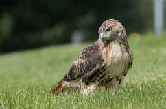 Red Tailed Hawk. In Pennsylvania Stock Image