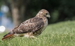 Red Tailed Hawk. In Pennsylvania Royalty Free Stock Photos