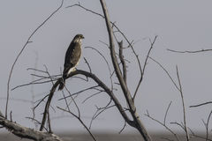 Red Tailed Hawk. Perched on branch Stock Photo