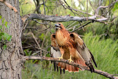 Red-tailed hawk perched on a branch Royalty Free Stock Photos