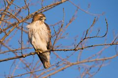 Red-tailed Hawk Perched in Dawn Light royalty free stock photo