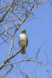 Red-tailed Hawk perched Royalty Free Stock Image
