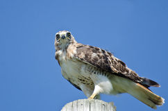 Red-Tailed Hawk Perched on a Pole Stock Images