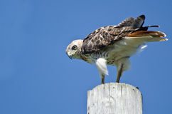 Red-Tailed Hawk Perched on a Pole Royalty Free Stock Photography