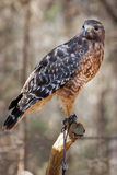 Red-tailed Hawk. A Red Tailed Hawk perched and showing the leather teather often used in falconry Stock Photography