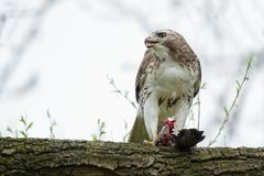 Red-tailed Hawk. Perched on a thick branch, holding its prey and taking a quick look for danger before it resumes eating. Ashbridges Bay Park, Toronto, Ontario Stock Image