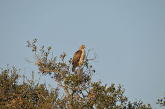 Red-Tailed Hawk Perched in Tree. At Barona Indian Reservation in San Diego County, California Royalty Free Stock Photos