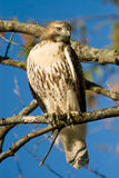 Red Tailed Hawk. A Red Tailed Hawk perched on a tree branch Stock Photos