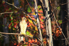 Red Tailed Hawk Royalty Free Stock Image