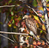 Red Tailed Hawk Royalty Free Stock Photography