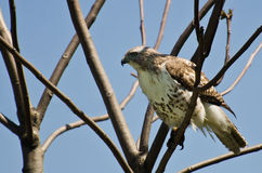 Red-Tailed Hawk Perched in a Tree Royalty Free Stock Photo
