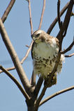 Red-Tailed Hawk Perched in a Tree Royalty Free Stock Photos