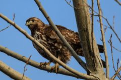 Alert hawk in a tree. Royalty Free Stock Photo