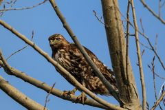 Hawk perched in a tree. Stock Image