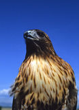Red Tailed hawk Portrait Royalty Free Stock Image