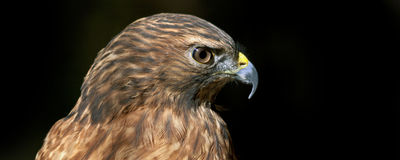 Red tailed hawk portrait. Profile of a red tailed hawk Stock Images