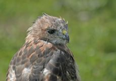 Red-Tailed Hawk Portrait. With blurred green grass background stock images