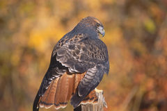 Red tailed hawk portrait Royalty Free Stock Photography