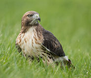 Red Tailed Hawk Royalty Free Stock Images
