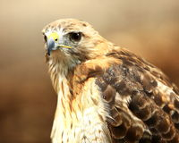 Red-tailed hawk portrait. Captive red-tailed hawk at the World Bird Sanctuary in St. Louis, Missouri Stock Photos