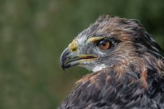 Red tailed hawk portrait close up. Close up profile portrait of a red tailed hawk, also known as a chicken hawk. The bird is looking alert and to the left royalty free stock image