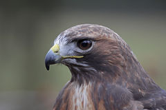 Red-tailed Hawk Portrait Royalty Free Stock Photos