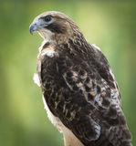Red-tailed Hawk. Portrait. The most common hawk in North America. You'll most likely see s soaring in wide circles high over a field Royalty Free Stock Image