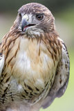 Red Tailed Hawk. Red-tailed Hawk portrait. The most common hawk in North America. You'll most likely see Red-tailed Hawks soaring in wide circles high over a Stock Images