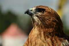 Red Tailed Hawk portraiture. Royalty Free Stock Photos