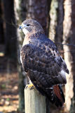Red-tailed Hawk on post Stock Photography
