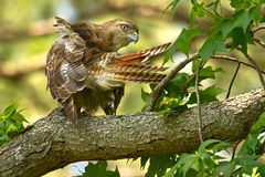 Red-tailed Hawk Preening Royalty Free Stock Photos
