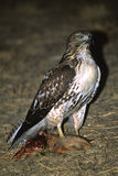 Red Tailed Hawk With Prey Royalty Free Stock Photos