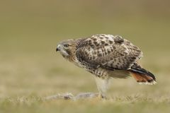 Red tailed hawk with prey Stock Photo