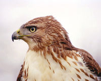 Red-Tailed Hawk Profile. A profile shot of an immmature Red-tailed Hawk stock image